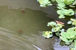 У фонтані Львова завелись золоті рибки (ФОТО)