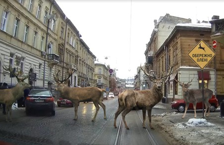 На вулицях Львова зафіксували оленів (ФОТОФАКТ)