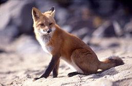 На Львівщині знешкодили агресивну лисицю
