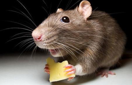 З початком весни у Львові труїтимуть щурів