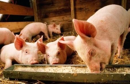 На Львівщині займатимуться розведенням свиней