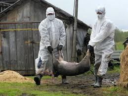 На Львівщині не зафіксовано випадків захворювання на Африканську чуму свиней