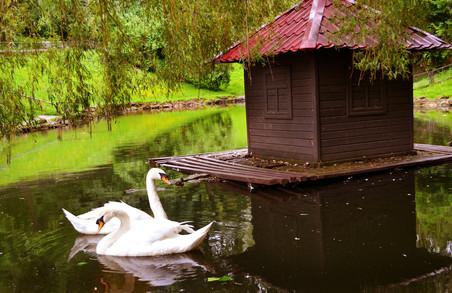 На озерах Львова знову можна помилуватись лебедями
