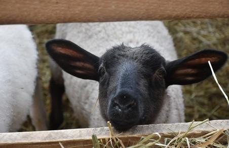На Львівщині розвиваються вівцеферми