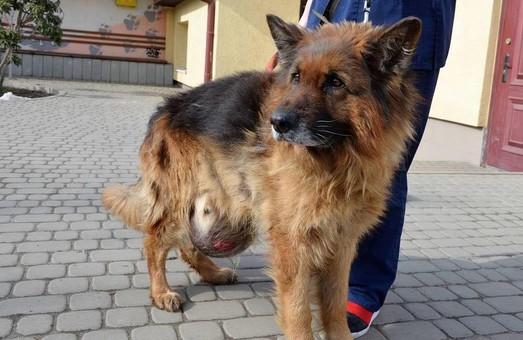 Львівські ветеринари врятували вівчарку з 6-ти кілограмовою пухлиною