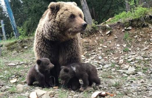 Ведмідь в українській геральдиці. Частина-1: детектив щодо створення герба Закарпаття