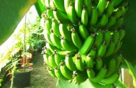 Біля Львова створили бананову ферму