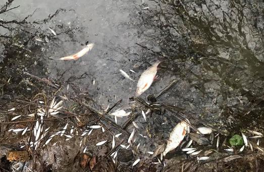 Біля Львова масово вимерла риба у річці