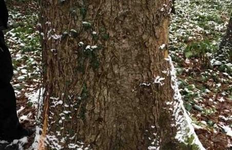 На Львівщині виникли розкрадання дубів на 700 000 гривень
