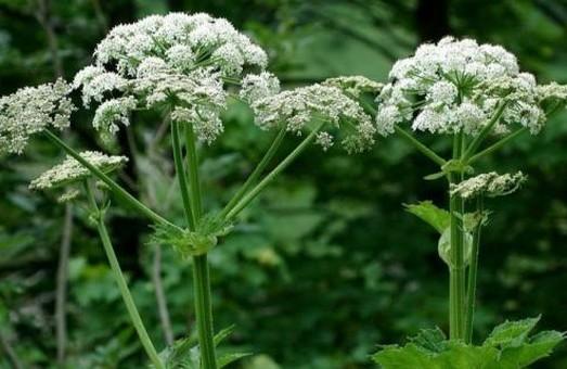 Мешканцям Львівщини розповіли чим небезпечний борщівник і як вберегтися від опіків при контакті із цією рослиною