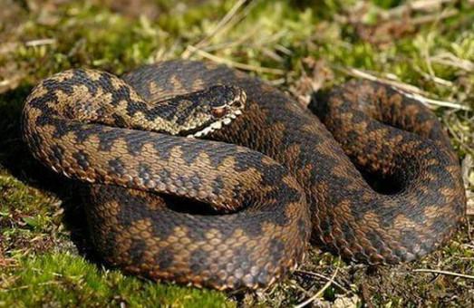 Мешканку Винник, що під Львовом, покусала змія