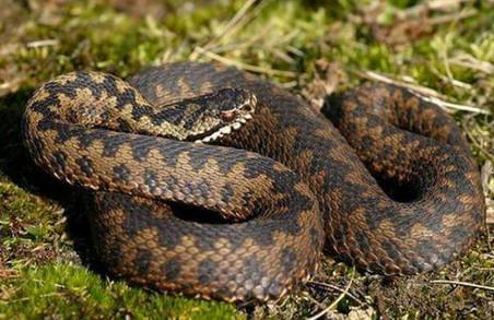На Львівщині жінка, яку вкусила змія, потрапила до реанімації
