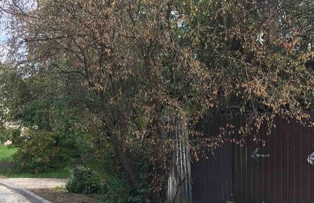 У Львові в дворі багатоповерхівки всихає 25 дерев