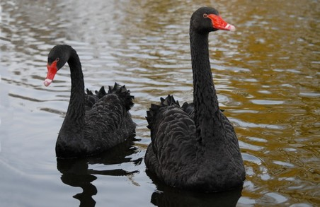 У Львові в чорних лебедів, які живуть у Стрийському парку, з'явилися пташенята
