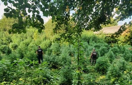 У Перемишлянському районі на Львівщині виявили цілу плантацію конопель