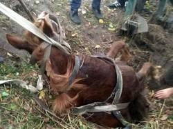 На Львівщині в селі Любеля рятувальники витягнули коня, який впав у каналізаційний колодязь