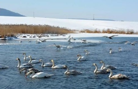 Диких лебедів, що залишилися зимувати на Львівщині, не можна годувати хлібом