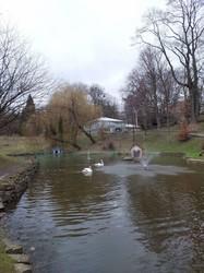 У Львові на ставок у Стрийському парку повернулися лебеді (ФОТО)